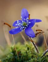 Blåveisblå på skogsbunden