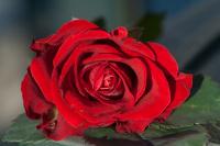 Hederlig omtale - Rosa