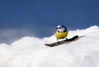 Blåmeis på snowboard