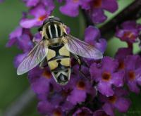 Blomsterflue på en sommerfuglblomst