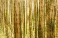 Hederlig omtale - pine forest