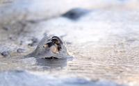 Antatt - Isskjell i fjæra