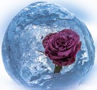 Antatt - Is rose