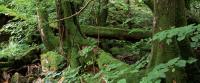 Antatt - Grønn skog